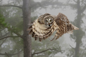 great grey owl, Strix nebulosa, in the wing