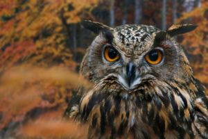 eagle owl, bubo bubo, in autumn