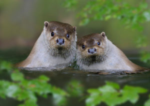 European otters (Lutra lutra), couple in the water