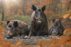 boars (Sus scrofa), group in the autumn wood