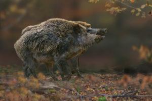 boars (Sus scrofa), showdown of the rivals