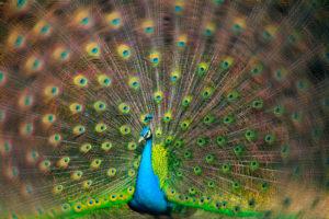 Blue peacock (Pavo cristatus), does cartwheels