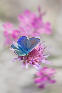 gossamer-winged butterfly on blossom, Lysandra beilargus, Europe