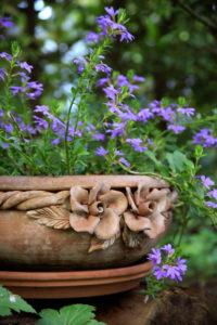 Blue fan flower, Scaevola aemula, flowers, terracotta bowl