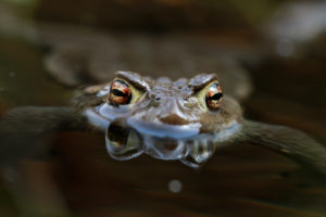 Toad in the water, Bufo Bufo, Reflection