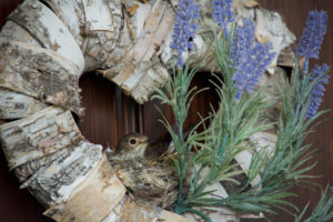 Spotted Flycatcher, Muscicapa striata, nest in door wreath on the entrance door with lavender