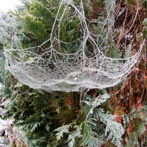 Cobweb with hoarfrost