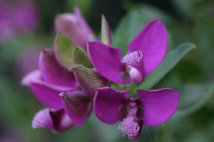 Finial, flowers, Polygala myrtifolia