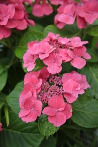 Hydrangea, flower