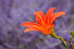 Lily Bloom orangeyellow