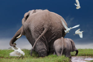 African bush elephants, Loxodonta africana, adult and juvenile, from behind, swampland, Amboseli National Park, Kenya, East Africa