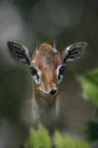 Dik-dik small antelope, head, front view