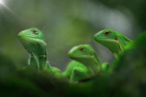Three Fiji iguanas, Brachylophus, sitting on a branch