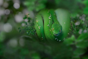 Green tree boa, Corallus hortulanus, coiled up on branch, northern South America, the Amazon