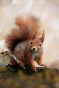 Red squirrel on trunk, Sciurus vulgaris, Bavaria, Germany, Europe
