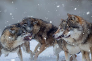 Four wolves in winter, Canis lupus, fighting, snarl, threatening gesture, Bavaria, Germany, Europe