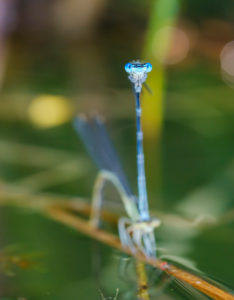 Blue Damselfly (Platycnemis pennipes), pair at oviposition, Bavaria, Germany
