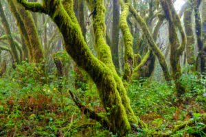 mossy trees in cloud forest, Garajonay National Park, La Gomera, Canary Islands, Spain