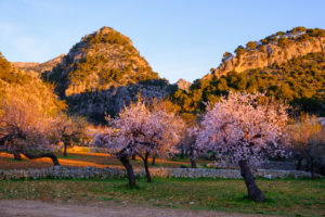 pink almond trees at Caimari in the morning light, Serra de Tramuntana, Mallorca, Balearic Islands, Spain