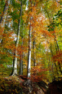 Coloured autumn wood in the Siebengebirge (hill range of the German Central Uplands)