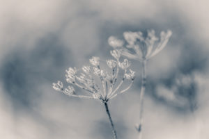 Winter magic: dried inflorescences of a wild carrot with hoarfrost overcast, blurred background