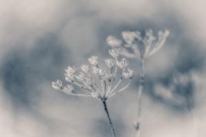 Winterzauber: vertrocknete Blütenstände einer Wilden Möhre mit Raureif bedeckt, unscharfer Hintergrund