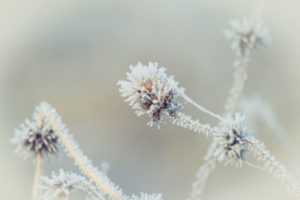 Winter magic: Hoarfrost and ice crystals on inflorescences of meadow flowers