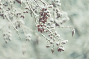 Winter mood: With snow and hoarfrost overcasted cones of the grey alder