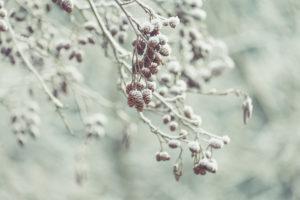Winterstimmung: Mit Schnee und Reif bedeckte Zapfen der Grau-Erle