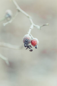 Close-up of red rose hips with hoarfrost
