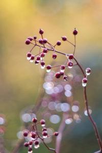 Herbstzauber: Zweig mit kleinen Hagebutten an den Regentropfen hängen, unscharfer Hintergrund mit Bokeh