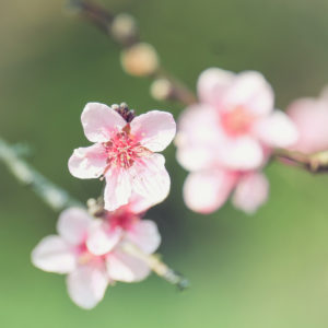 Spring magic, close-up of pink peach blossoms, blurred background