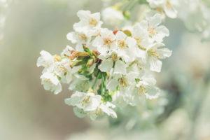 Frühlingszauber: Close-up von weißen Kirschblüten mit unscharfem Hintergrund