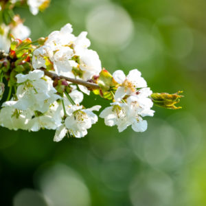 Close-up of white cherry flowers with blurred green Bokeh background
