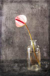 Stillleben, Fine Art, rosa Anthurienblüte in einer Glasvase auf dunklem Hintergrund mit Vintage Textur