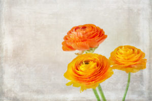 Close-up of three orange ranunculus with vintage texture