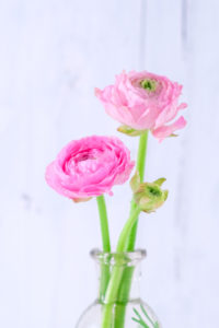 Two pink ranunculus in a glass vase