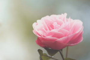 Close-up pink rose blossom
