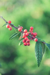 Zweig mit roten Beeren