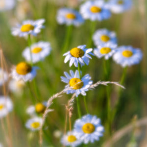 Summer meadow with wild daisy blossoms