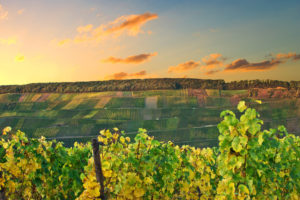 Grapevines in the foreground. In the background the vineyards at Klüsserath at the Moselle in front of a sunset sky.