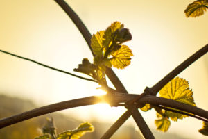 Fresh shoots on a vine in morning sun.