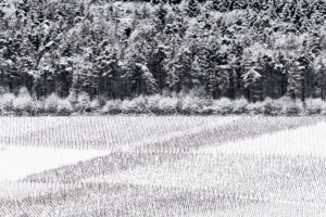 Snow-covered vineyards with forest border at the Moselle