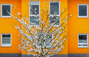 Snow-covered tree in front of a yellow residential house