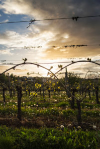 Young wine tendrils in a vineyard in front of evening sky in spring