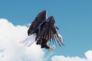 Snapshot of a sea eagle in flight