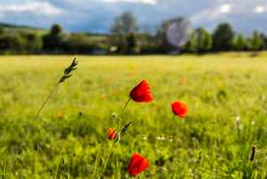 Poppies on a summer meadow in the afternoon sun