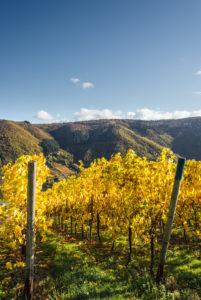 Buntes Weinlaub im Weinberg vor einem blauen Himmel.