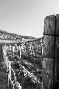 Vine plants with trellises in a vineyard on the Moselle.