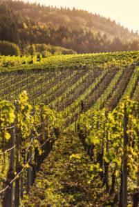 Vineyard against a summer sky.